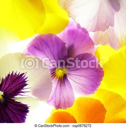 colorful viola - csp0876272