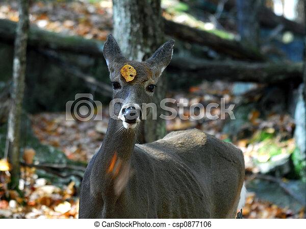 White-tailed deer (Odocoileus virginianus) - csp0877106
