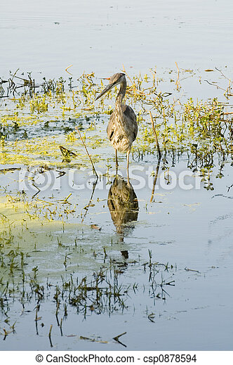 Juvenile Great Blue Heron - csp0878594