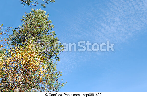 Birch, Pine and Clouds - csp0881402