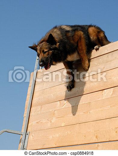 sportive belgian shepherd - csp0884918