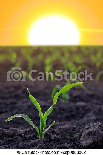 agrícola, maíz, aumentar,  área - csp0888862