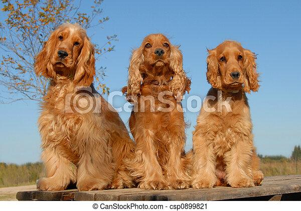 three purebred cockers - csp0899821