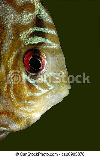 Blue discus fish - csp0905876
