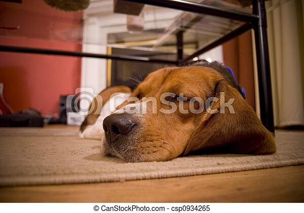 sleepy beagle - csp0934265