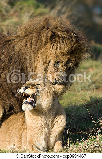 Im genes de apareamiento leones le n leona apareamiento csp0934467 buscar stock de - Leones apareamiento ...