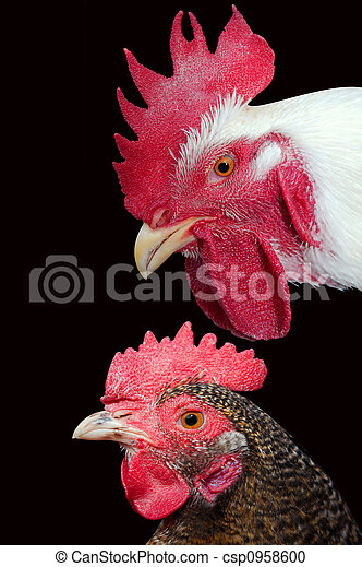 Poultry - csp0958600