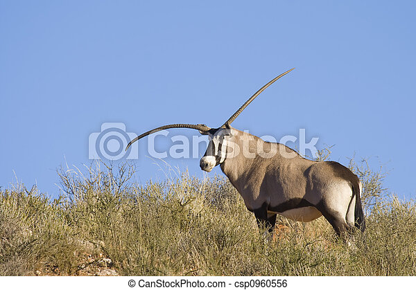 Genetic Defect Gemsbok - csp0960556