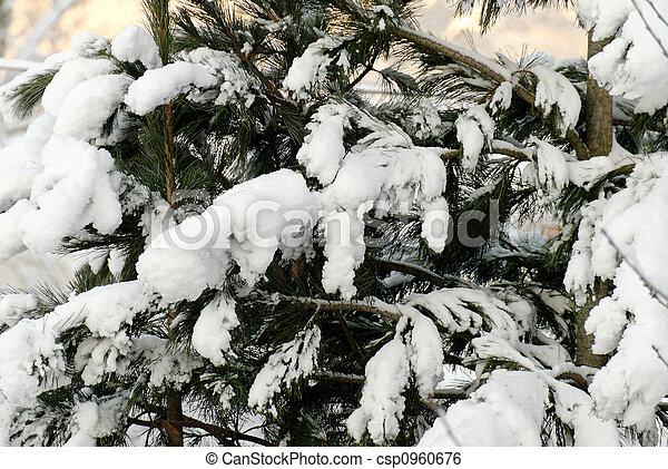 Snow on Fir Branches - csp0960676
