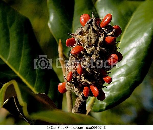 Pel culas de magnolia semilla vaina rojo semillas - Semilla de magnolia ...