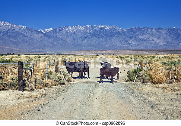 Livestock on Ranch Road - csp0962896