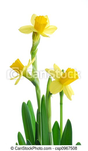 spring daffodils - csp0967508