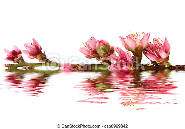 Peach Blossom - csp0969842