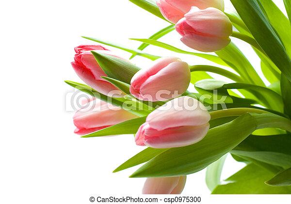 Fresh Pink Tulips - csp0975300