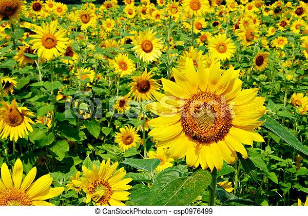 Outstanding sunflower - csp0976499