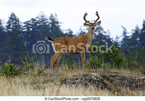 Buck Deer With Antlers - csp0976828
