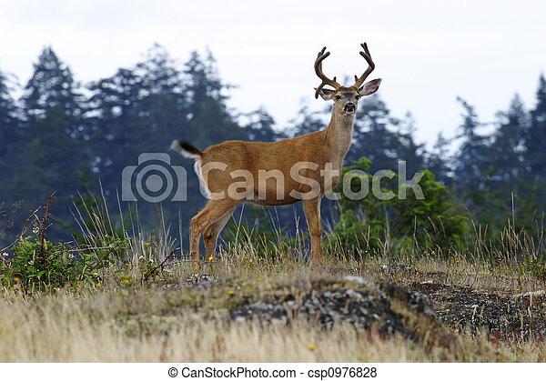 Buck Deer With Antlers - csp0976828