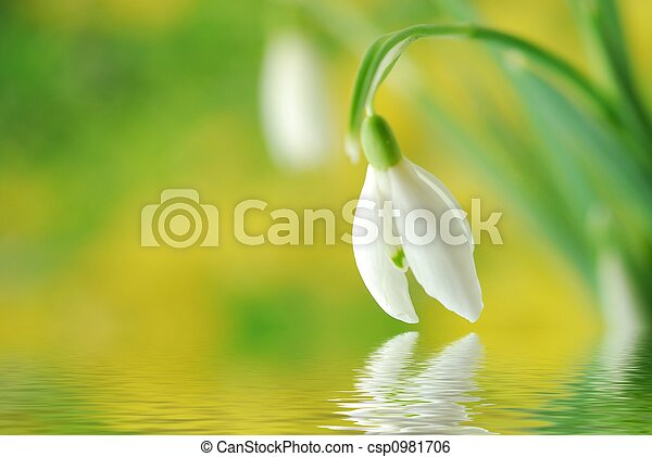 colorful snowdrop - csp0981706