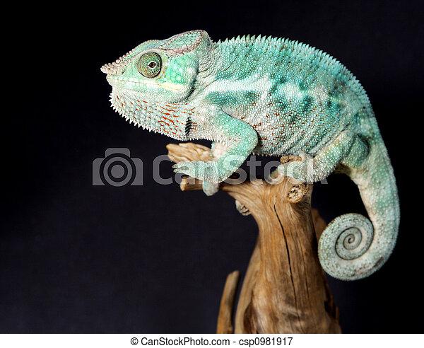 macho, colorido, camaleón - csp0981917