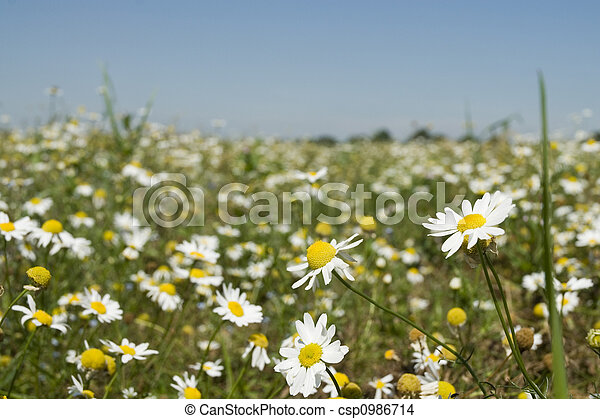 field with daisies - csp0986714