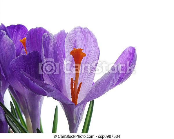 spring crocus - csp0987584