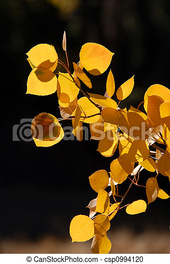 Branch of Yellow Aspen Leaves - csp0994120