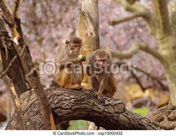 Rhesus monkeys are defending their food, Heidelberg Zoo, Germany - csp10000432