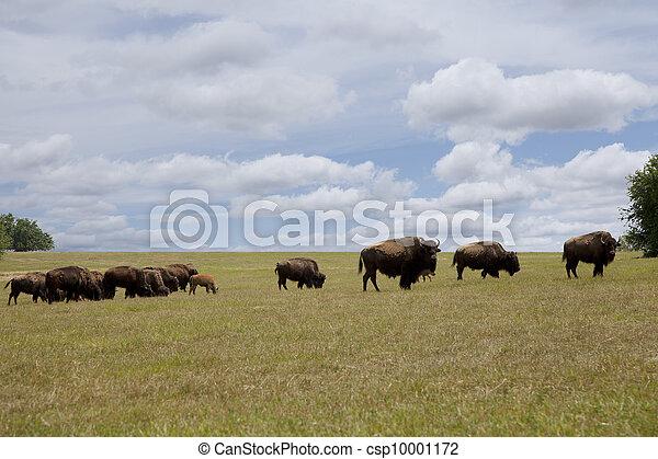 Herd of buffalo grazing in an open field.