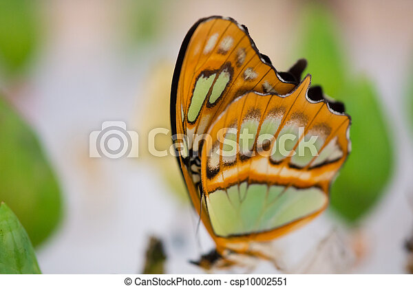 Clear wing butterfly or Greta oto - csp10002551