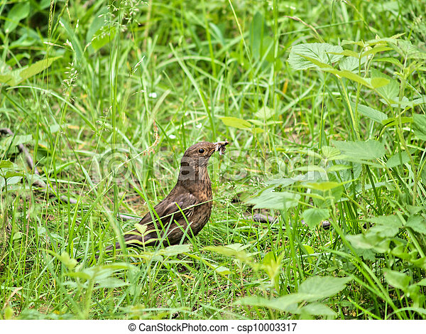 A female thrush bird, in the high grass with food in the beak - csp10003317