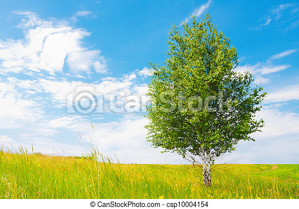 Birch on green meadow - csp10004154