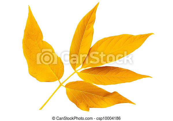 Yellow autumn leaf ash isolated on white background - csp10004186
