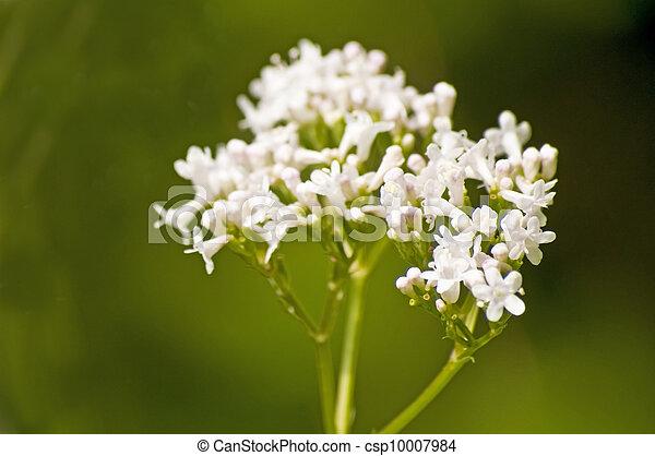 Valerian, medicine plant - csp10007984