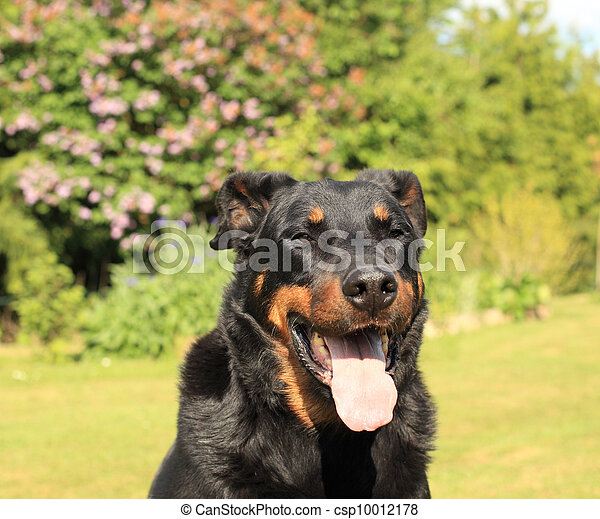 portrait of a purebred french sheepdog beauceron - csp10012178