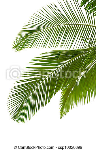 Leaves of palm tree - csp10020899