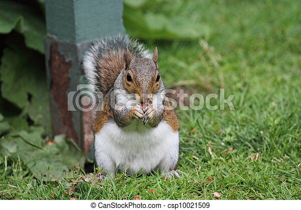 Squirrel Eating its nuts - csp10021509