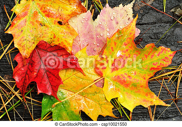 Close-up of a Colorful Maple Leaves - csp10021550
