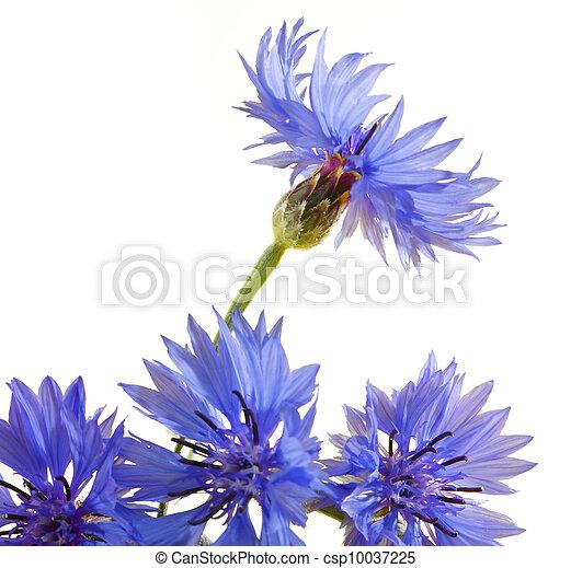 Cornflower - csp10037225