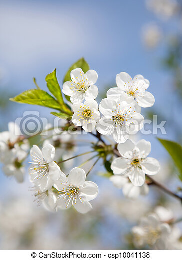 Spring blooming sakura cherry flowers branch on blue sky - csp10041138
