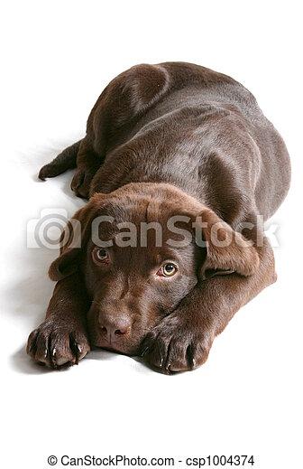Chocolate Lab Puppy - csp1004374