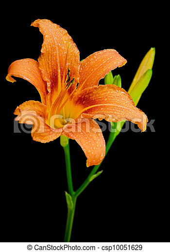 day-lily isolated on black background close up - csp10051629