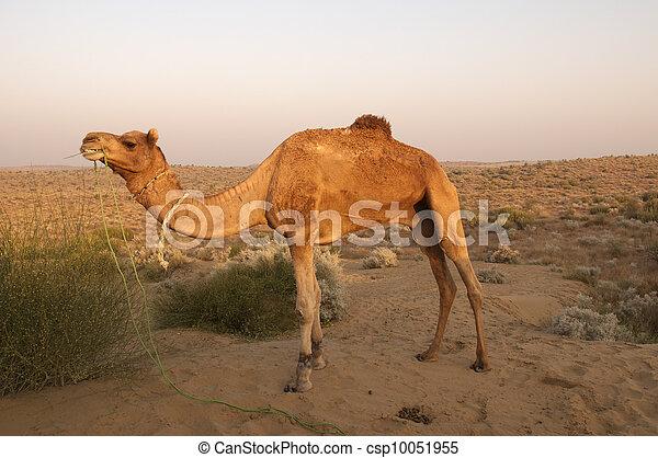 Camel, Bikaner, India - csp10051955