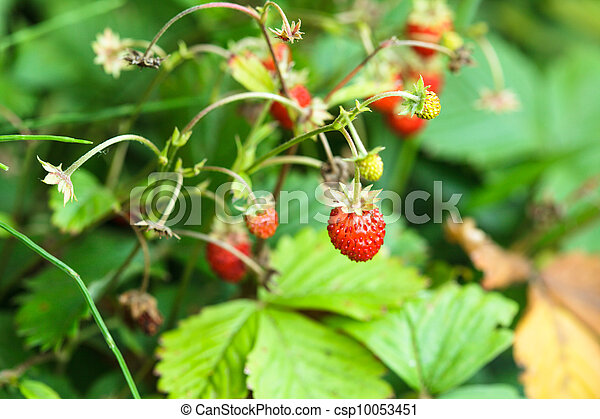 Wild strawberry - csp10053451