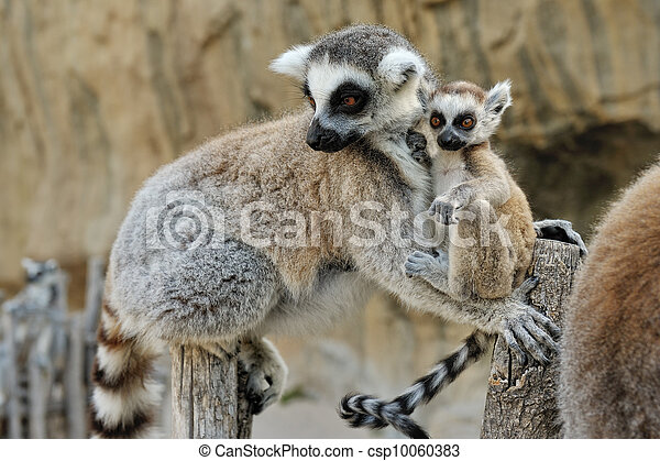 Madagascar's ring-tailed lemur  with the small cub on a back. - csp10060383