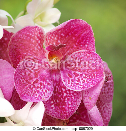 Photo de closeup rouges dendrobium orchid e ext rieur for Orchidee exterieur