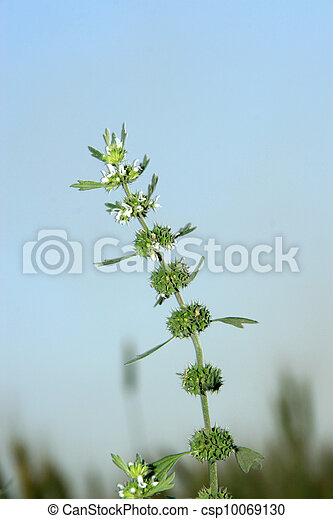 labiatae flowers motherwort on a green background, can be used as species of medicinal herbs, can treat disease, taken photos in the wild natural state, Luannan County, Hebei Province, China.