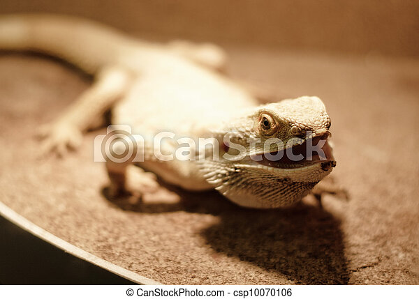 Juvenile Bearded Dragon Looking Up - csp10070106