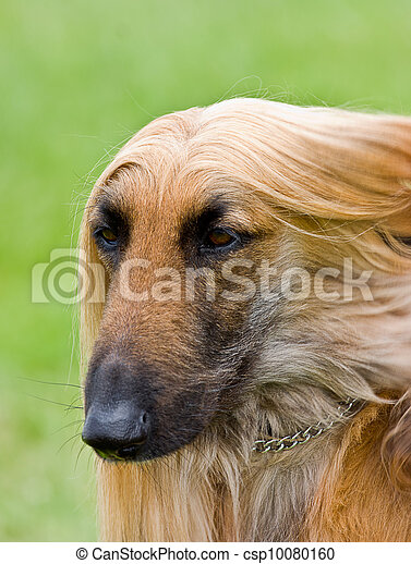 Afghan hound portrait with copy space  - csp10080160