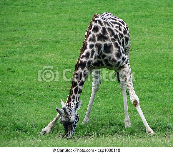 giraffe eating grass clipart