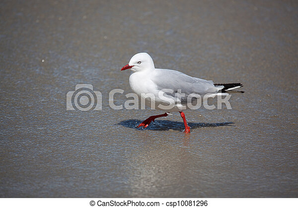 Red-billed Gull (Chroicocephalus scopulinus) - csp10081296